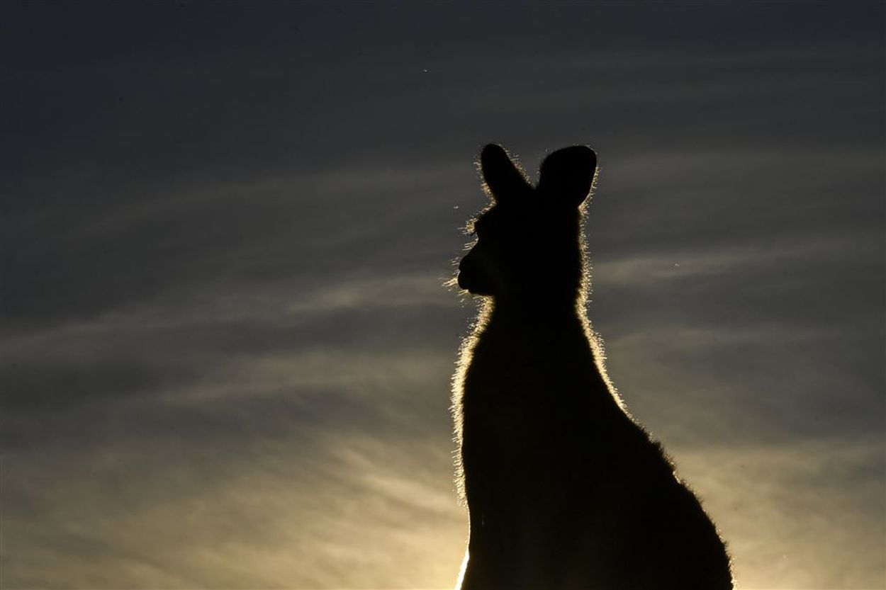 kangoeroe kijkt in de verte ANP