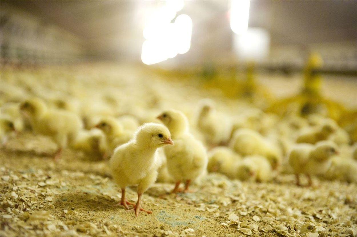 Afbeelding van Dierenartsen in opstand tegen dierenleed in de veehouderij: 'Dit moet nu stoppen'