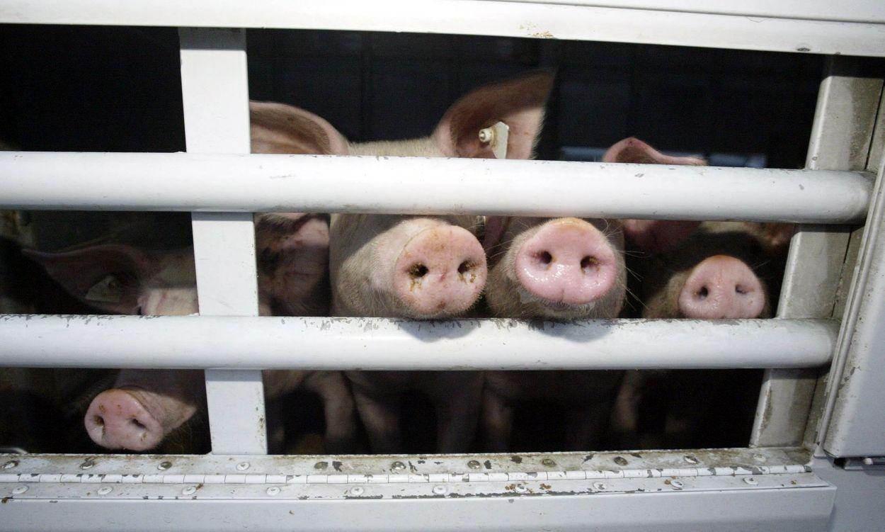 Afbeelding van 'Financiële sector moet stoppen met investeren in vee-industrie'
