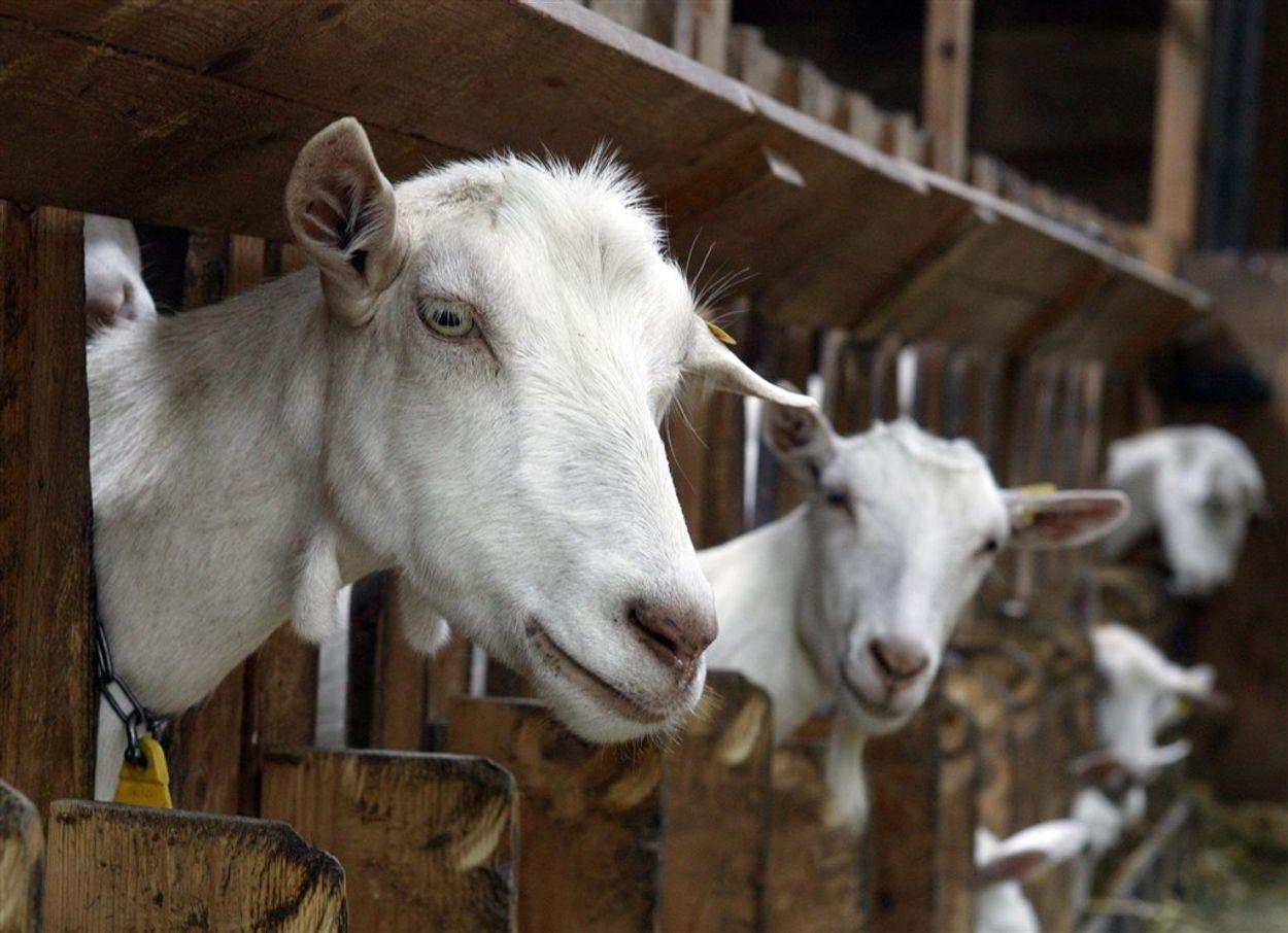 Afbeelding van Aantal geiten in Nederland gestegen ondanks 'geitenstop'