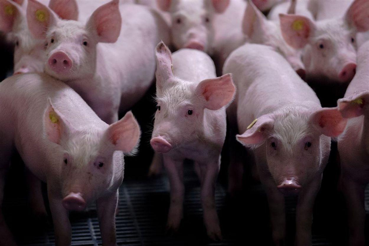 Afbeelding van Brabants plan voor duurzame, niet stinkende stallen maakt boeren woest