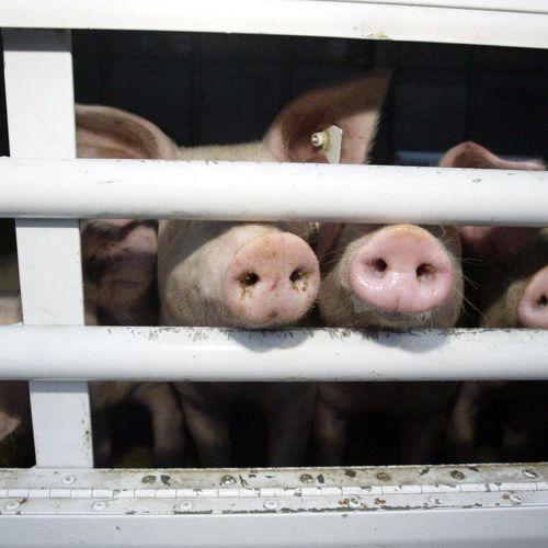 Afbeelding van Schouten verbiedt export van vee bedoeld voor buiten EU