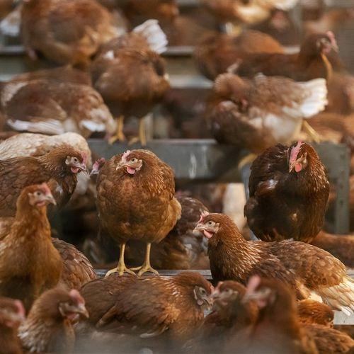 Afbeelding van Vogelgriep: bijna half miljoen dieren geruimd in vijf maanden