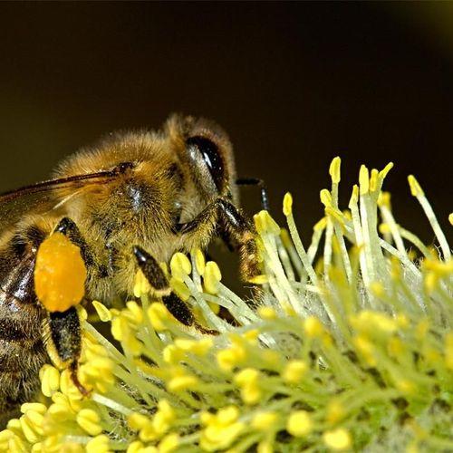 Afbeelding van 'Bijen worden niet beschermd in nieuwe Europese richtlijnen'