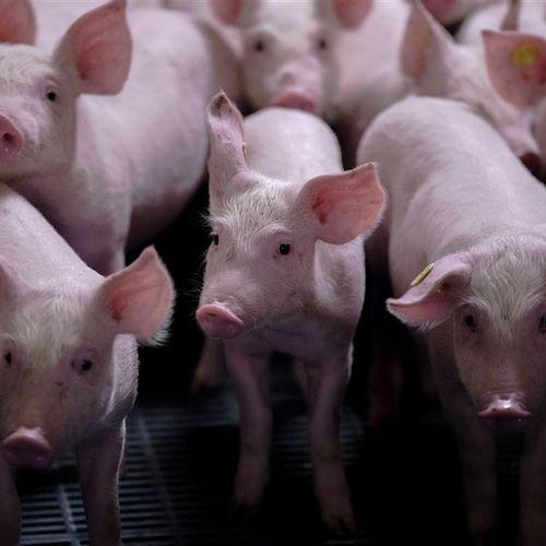 Afbeelding van Brabantse varkensboeren slepen provincie voor de rechter om nieuwe regels stallen